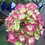 Thumbnail: Hydrangea Bloom Struck
