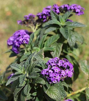 Héliotrope fleurs