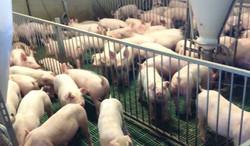 Australian Piglets