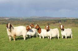 Australian Boer Goat herd