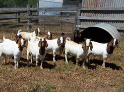 Australian Boer Goats