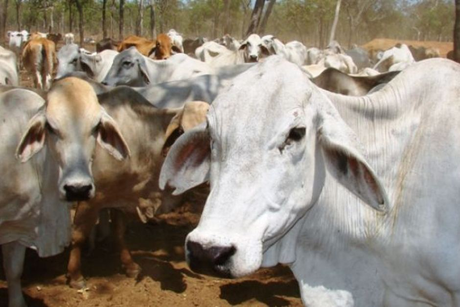 Australian Brahman Cattle