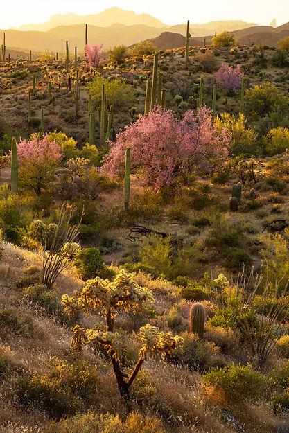 Desert Ironwood Trees, Phoenix, ARIZONA