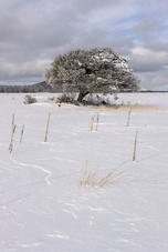 Tree in Winter vertical