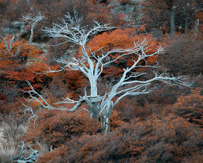 Patagonia Tree II