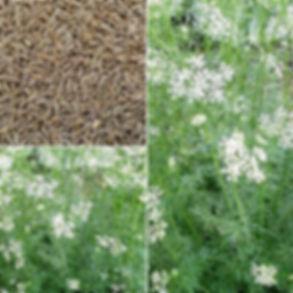 cumin-plant.jpg