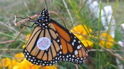 Monarch Michele