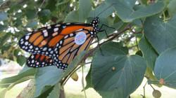 Monarch Paul