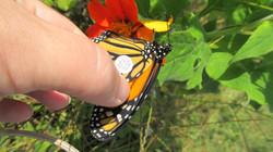 Monarch Whalen