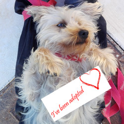 Astro yorkshire terrier adopted