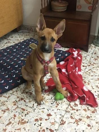APAC Baloo puppy sit.jpg