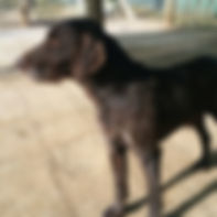 Bruno german wirehaired pointer drahthaar for adoption