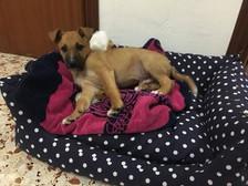 APAC Baloo puppy down.jpg