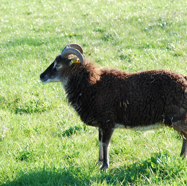 Le mouton monte la garde