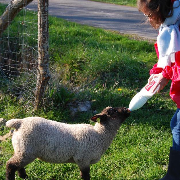 Le biberon de l'agneau