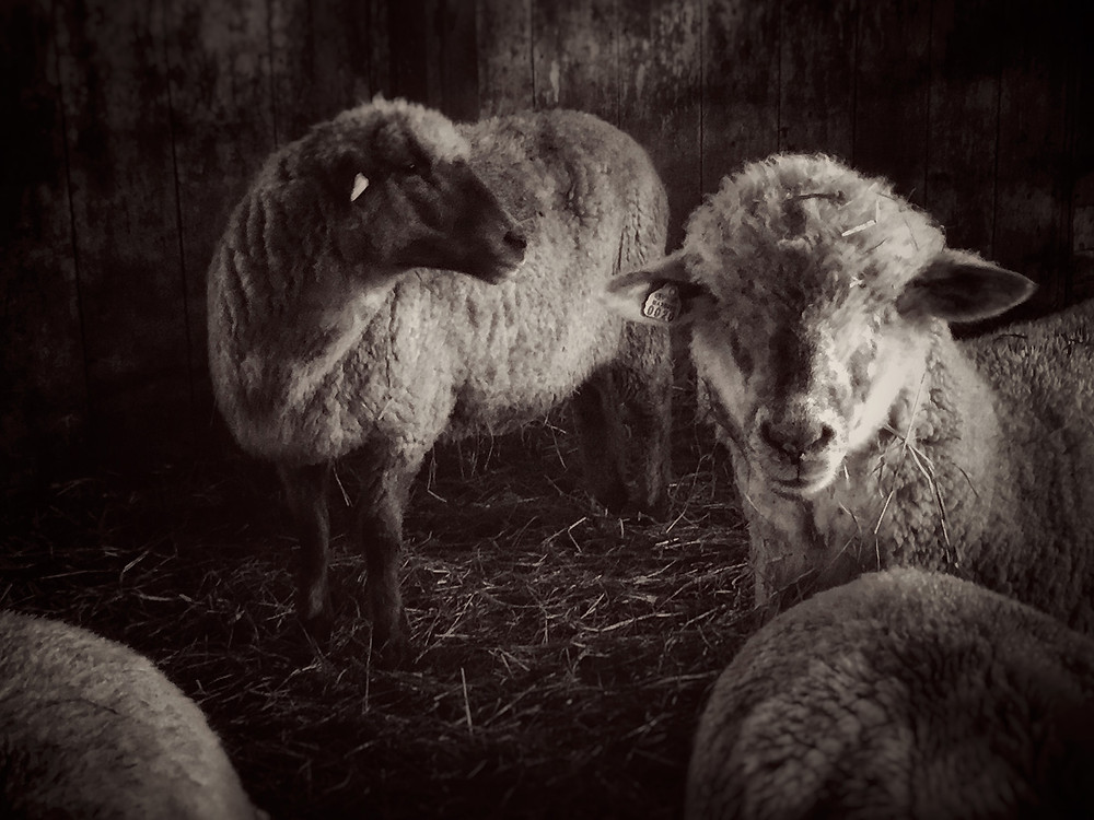 Monotone photo of 2 barn sheep