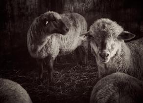 Clark Farm Sheep by Nancy Roberts