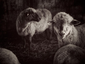 Clark Farm Sheep by Nancy Roberts