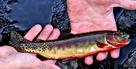 Small_Golden_Trout.jpg