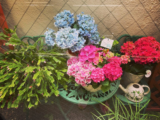 母の日紫陽花💕