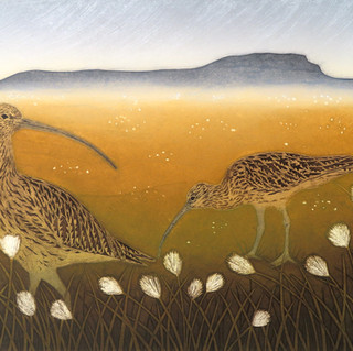 Curlews and Cotton Grass...