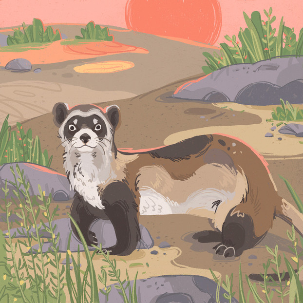 Black-Footed Ferret