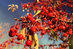 hann_berries