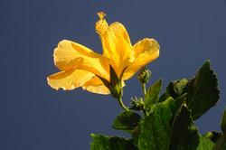 zimmerman_flower