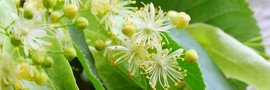 fleurs-tilleul_shutterstock_151373891_ba