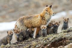 renards-arctique-2.jpg
