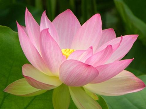 Roze Lotus Olie