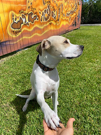 white dog with brown face looking away from camera giving a paw