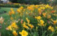 daylilies-3495.jpg