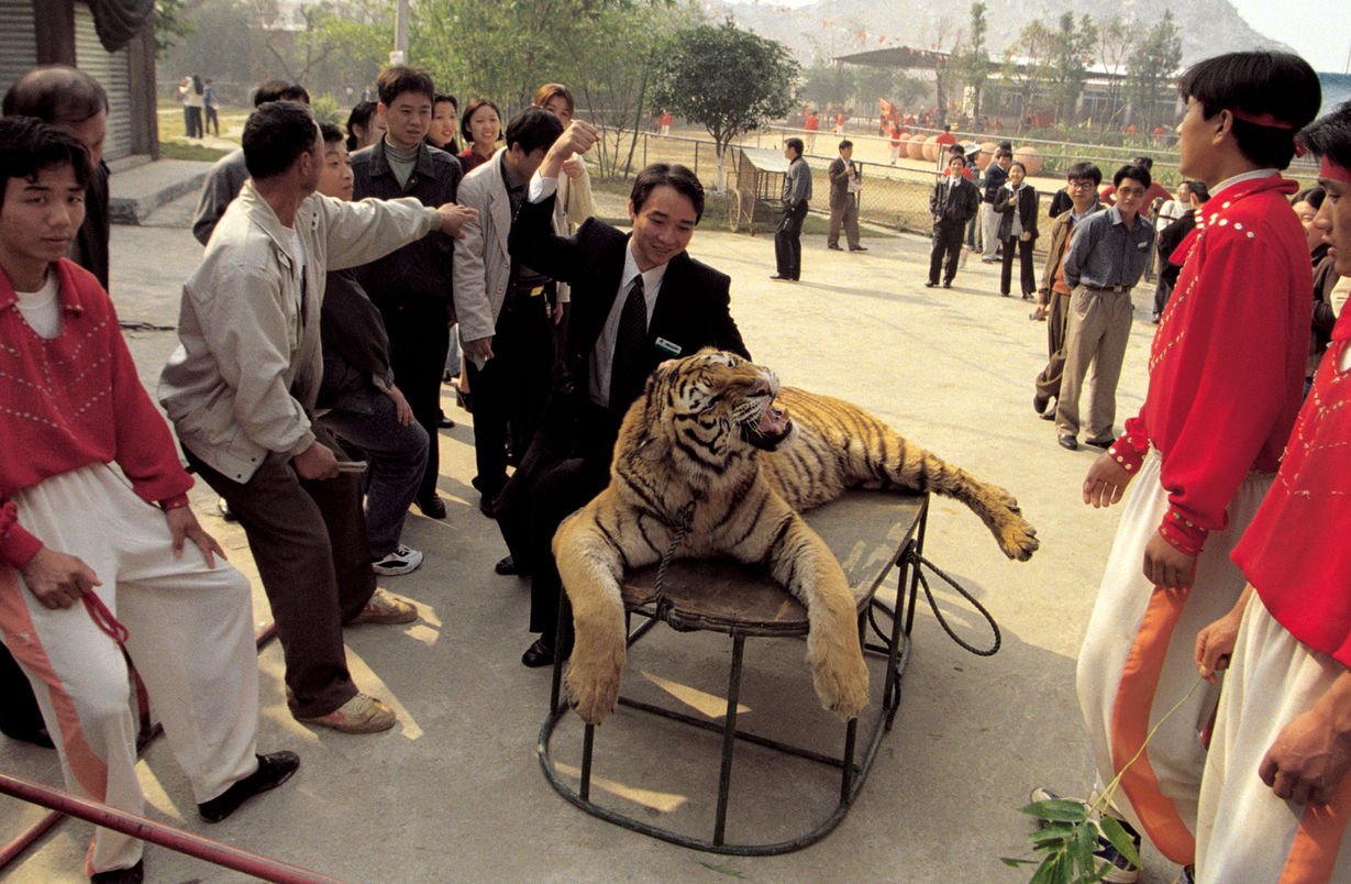 tiger (1).jpg