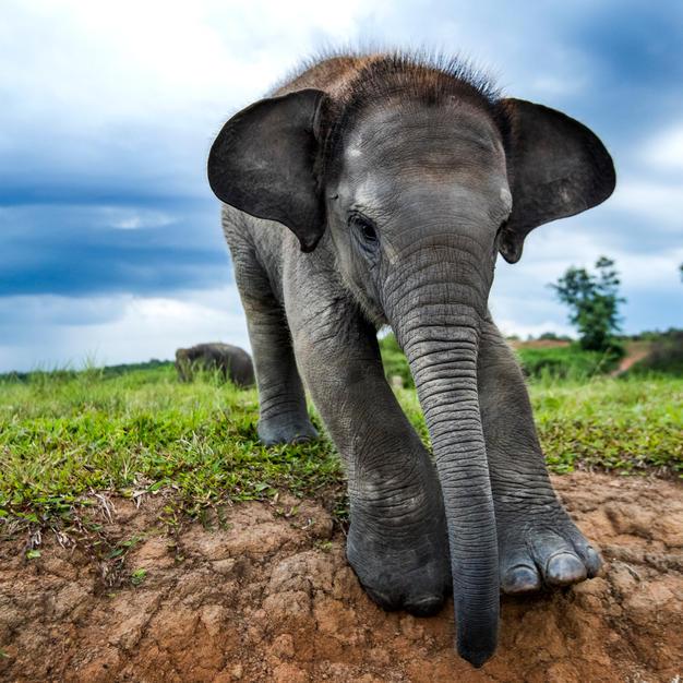 THE FORGOTTEN ELEPHANTS OF SUMATRA