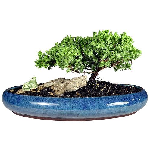 Oval Pot Bonsai