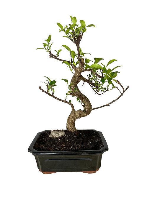 Ficus-001