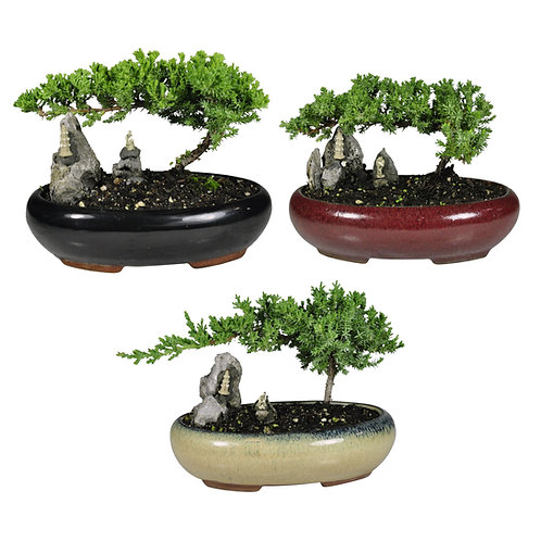 Bonsai in Small Oval Pot