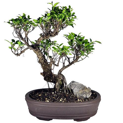 Ficus-003 Zisha Pot