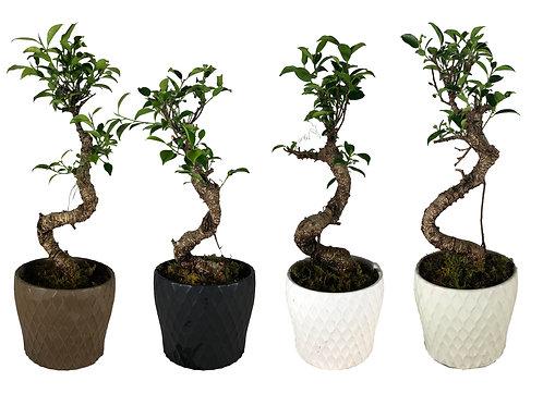 P1045 Ficus