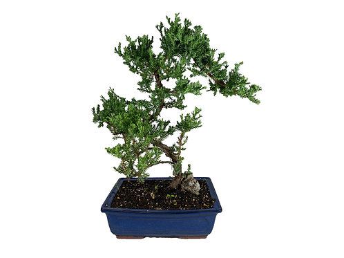 Bonsai in Extra Large Rectangular Pot