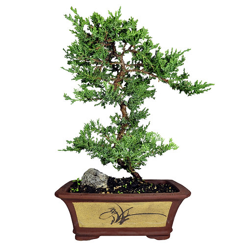 Zisha Juniper Bonsai