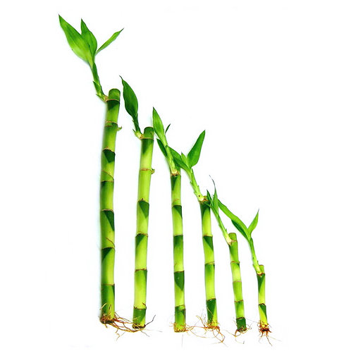 Lucky Bamboo from Taiwan