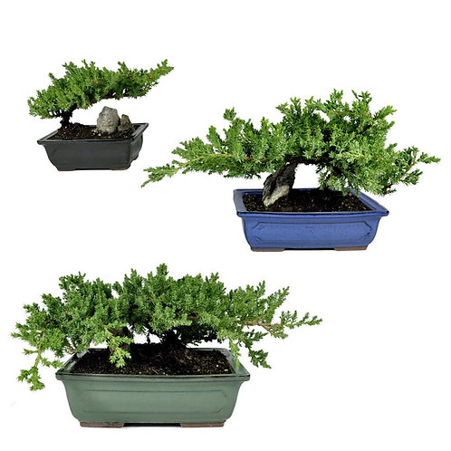 Bonsai in Rectangular Pot