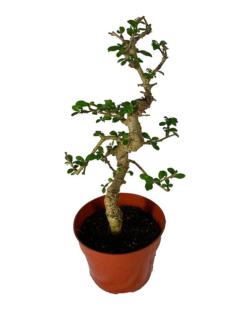 Tea Tree - 25 cm