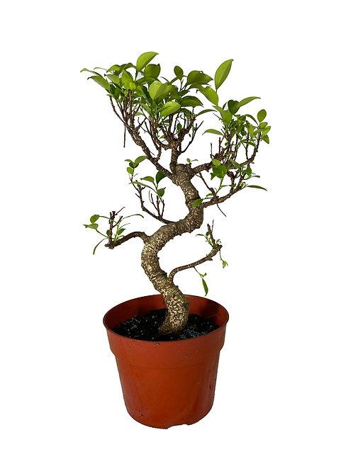 Ficus - 25 cm