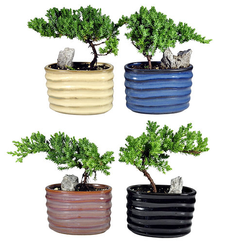 Pack of 4 Mini Bonsai
