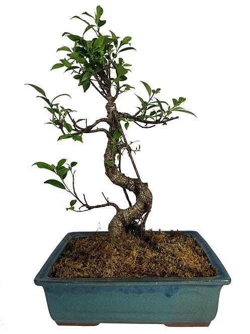 Ficus-002