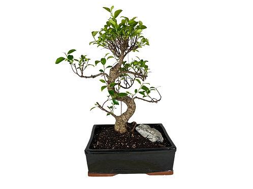 Ficus-003 Glazed Pot