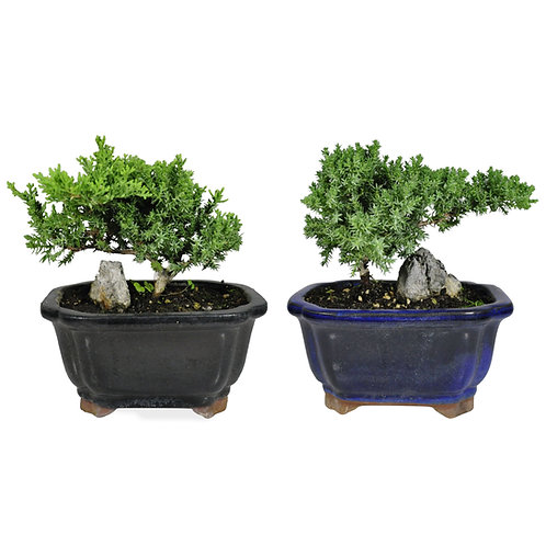 Bonsai in Cloud Pot